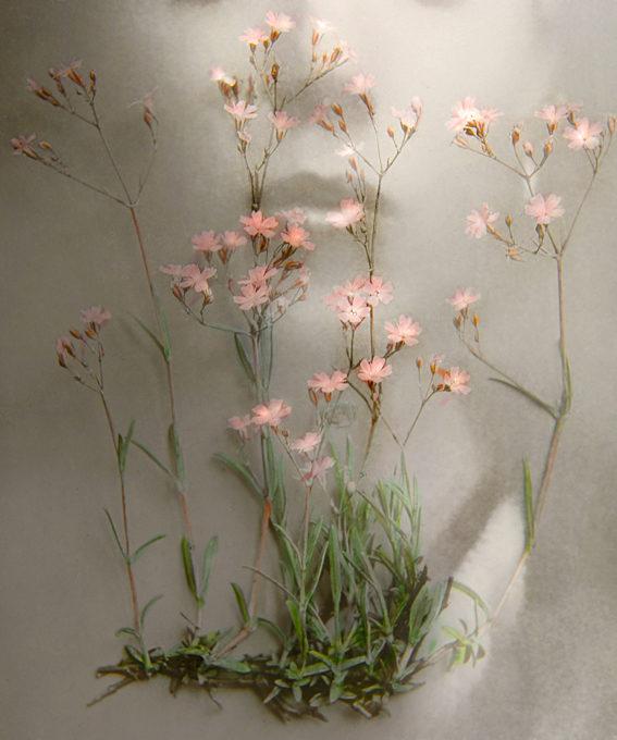 Anthemis Nobilis #3, 2019  Gypsophila Repens  Fotografie, 29 x 24 cm