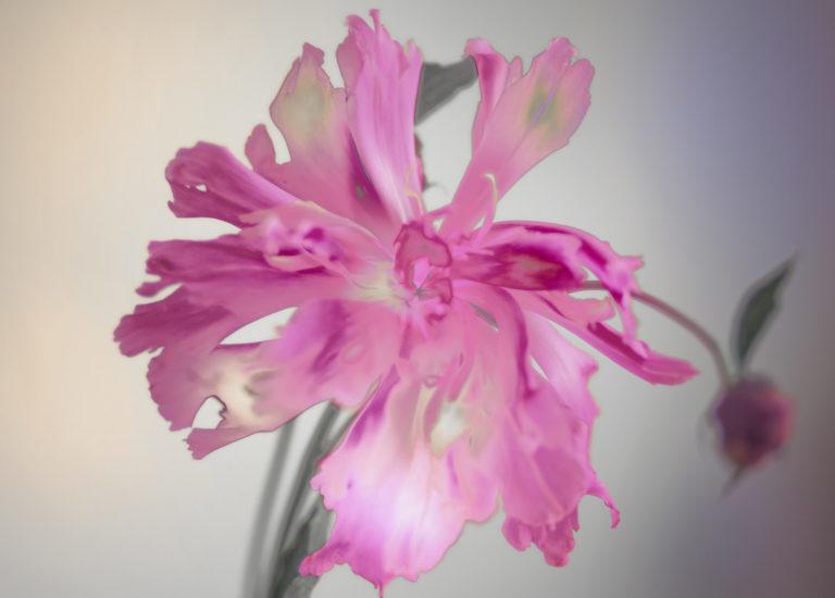 Paeonia, 2015  Fotografie, 74 x 99.5 cm