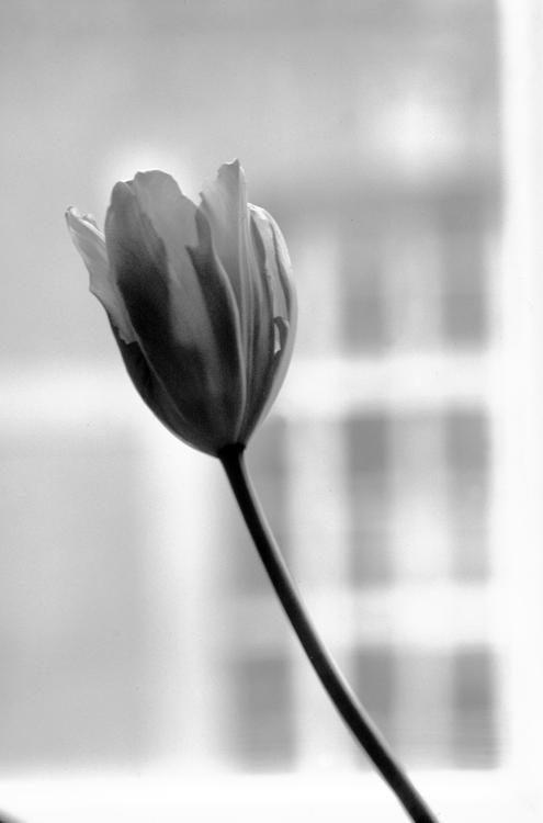 Tulip, 2015